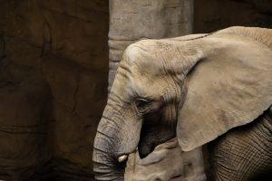 tete d'éléphant