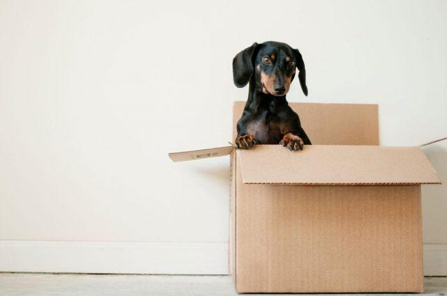 chien sortant d'un carton