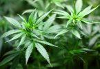 plant de cannabis