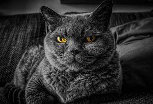 chat noir et yeux jaunes