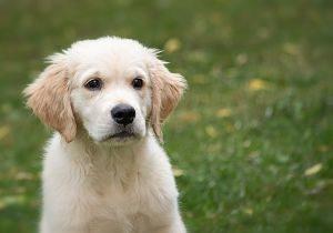 chien blanc dans l'herbe