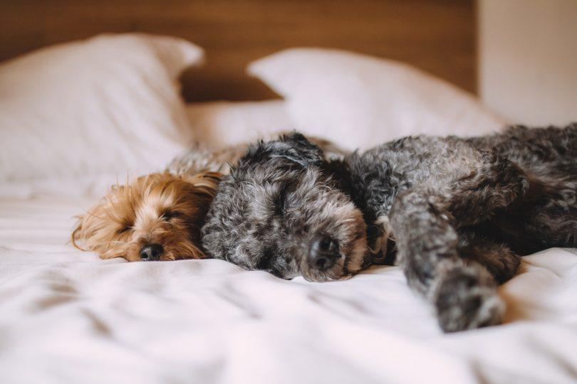 deux chiens dormant sur le côté dans un lit aux draps blancs